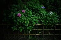 山田池公園   6/23 紫陽花 - 写真部