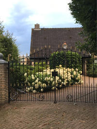 オランダの紫陽花/驚愕のお花事情 - 不味くないネーデルランド