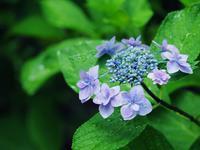 紫陽花 いろいろと 3 - 光の音色を聞きながら Ⅱ