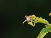 キマダラルリツバメ - 風の翅
