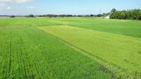 裏の田んぼは緑のじゅうたん - テニスのおじさま日記