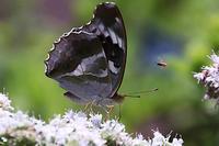 ボーダー花壇でチョウ探し。ウワミズサクラ - 子猫の迷い道Ⅱ