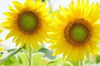 太陽の子~向日葵 - シャドーボックス作品集