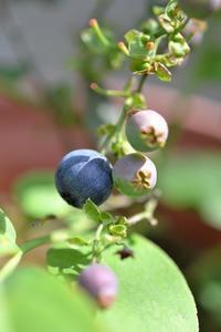 今朝の果樹 - refresh-3
