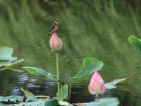 ハスカワ - 『彩の国ピンボケ野鳥写真館』