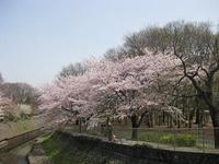 シュートと桜吹雪さんぽ♪ - shoot !!