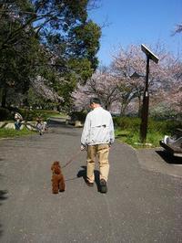 桜スパルタ散歩 !? - shoot !!