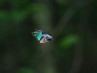 午前のアイノミドリの卍とテリ張 - 蝶超天国