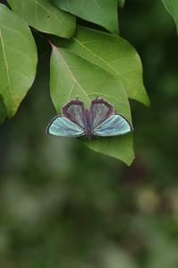 メスアカのテリ張といつもの幼虫確認 - 蝶超天国