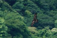 森の王者だからもう一回 イヌワシ - 野鳥公園