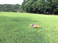 うれしい朝散歩 - ミニチュアブルテリアダージと一緒2