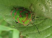 アカスジキンカメムシ Poecilocoris lewisi - 写ればおっけー。コンデジで虫写真
