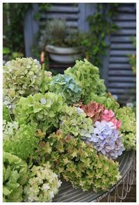 庭に咲いた紫陽花をカットしましたよ~♪ - natu     * 素敵なナチュラルガーデンから~*     福岡でガーデンデザイン、庭造り、外構工事をしてます