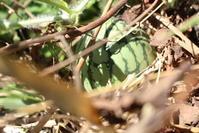 土用入り間近:スイカの実が付きました。 - 週刊「目指せ自然農で自給自足」