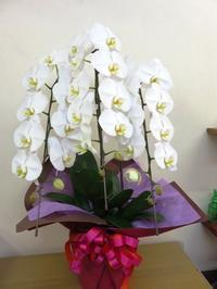 胡蝶蘭 - 大阪府茨木市の花屋フラワーショップ花ごころ yomeのブロブ