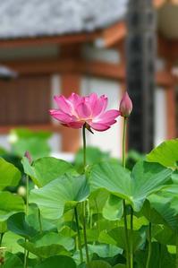 三室戸寺のハスの花@2017-07-14 - (新)トラちゃん&ちー・明日葉 観察日記