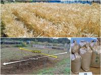 麦の収穫メモ - ■■ Ainame60 たまたま日記 ■■