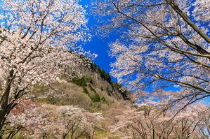 奈良の桜2017 屏風岩公苑の春爛漫 - 花景色-K.W.C. PhotoBlog