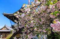Finale!京都の桜2017 妙蓮寺の普賢象桜と八重桜 - 花景色-K.W.C. PhotoBlog