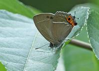 その後のゼフィルスなど初撮り5種 - 公園昆虫記