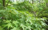 青い紅葉と庭の富士… - 侘助つれづれ