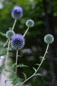 ブルー系の花たち - バラと遊ぶ庭