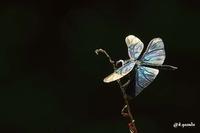 蝶とんぼ② - 四季折々に・・・・・