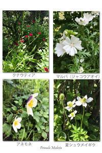 夏のお花たち - 雪割草 - Primula modesta -