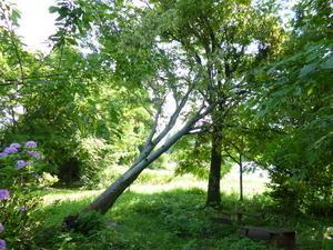 台風で傾いた庭のケヤキの木を切り倒しました。 -