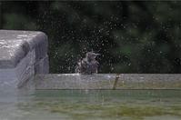 ●● 気持ちよさそう・・・・・・・・・ヒヨドリの水浴び ●● - kameのフォトブック2