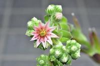 センペルビウム レグニ が咲いた - yama10フォトライフ
