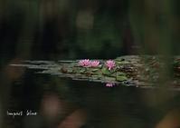 睡蓮の咲く公園に行ってみた(*^^*) - インパクトブルー
