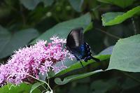ボタンクサギに蝶3種と、カラー - 子猫の迷い道Ⅱ