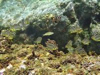カゴカキダイ 葉山 潮間帯 - 葉山の美味しいダイビング生活