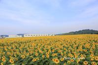 2017 豊浜 向日葵 - さんたの富士山と癒しの射心館