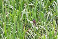 利根川沿いの野鳥 - 何でも写真館