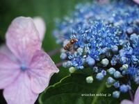 紫陽花@rainy days♫ - アリスのトリップ