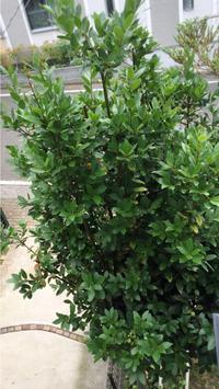 月桂樹の壁飾り - 木の実と私と夢みる時間 ~surprise 日々のあれこれ~