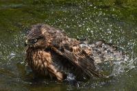 オオタカ 07月16日 - 旧サンヨン(Nikon 300mm f/4D)野鳥撮影放浪記