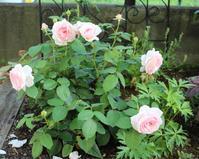 オリビアローズオースチンの2番花 - my small garden~sugar plum~