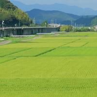 稲の緑が鮮やかで - ゆる鉄旅情