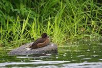 キンクロハジロ - ごっちの鳥日記