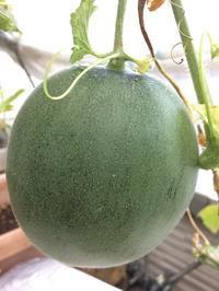 メロンはそれなりに大きく、きゅうりは撤収 - 3F garden(屋根付屋外水耕)