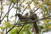 幼鳥に桑の実の味を覚えさせる?ヒヨドリ - うちのまわりの自然新聞