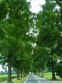 夏のメタセコイヤ - Blue Planet Cafe  青い地球を散歩する