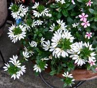 ブルーファンフラワーの白花です。 - 楽餓鬼