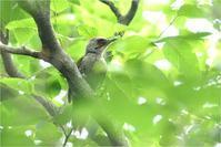 枝葉被りの野鳥たち@広島県 - とことんデジカメ