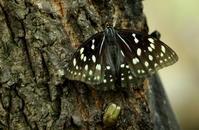 2017 ハイシーズン 夏山 - 紀州里山の蝶たち