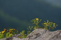 遙かなる、岩壁の花 - ひつじ雲日記