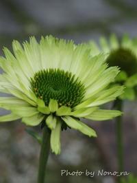 緑の濃淡が魅力的なエキナセア『グリーンジュエル』 - 小さな花アトリエ